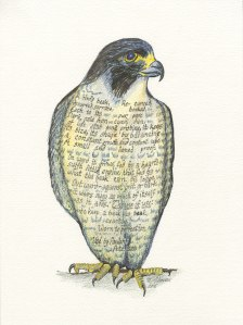 Peregrine falcon, drawn by Meredith Eliassen, 2015.